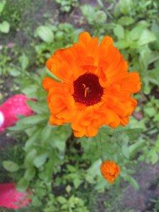 Calendula_marigold_healing_naturopath_naturopathic_botanical_herbal_medicine_gardening_tips_toronto_ontario_Kensington_market