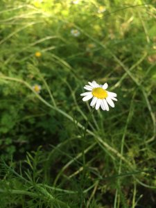 roman_chamomile_matricaria_anxiety_calming_healing_naturopath_naturopathic_botanical_herbal_medicine_gardening_tips_toronto_ontario_Kensington_market