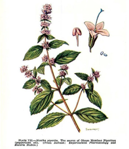 peppermint_mentha_piperita_indigestion_healing_naturopath_naturopathic_botanical_herbal_medicine_gardening_tips_toronto_ontario_Kensington_market